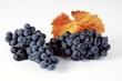 Black grapes, variety Regent, with leaf