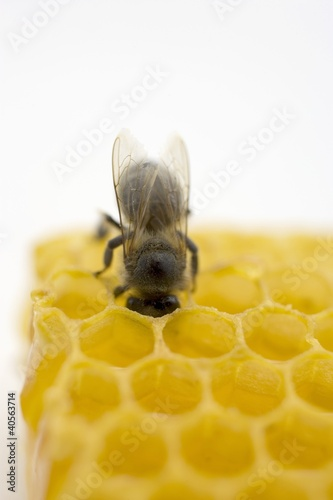 Bee on honeycomb (close-up)