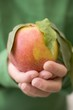 Child's hands holding nectarine with leaves