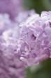 Lavender flowers (close-up)