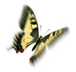 common swallowtail in flight