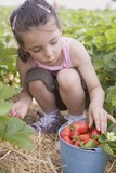 Little girl picking strawberries in strawberry field