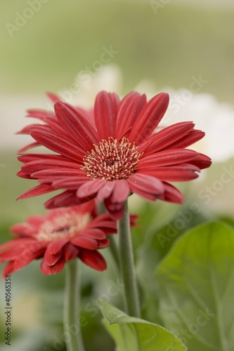 Red gerbera out of doors