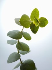 Sprig of eucalyptus