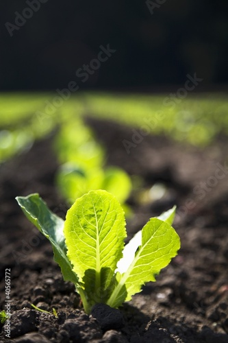 Baby Romaine Lettuce Growing in a Field