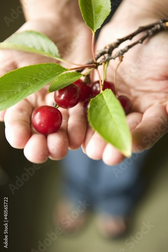 Hands HoldingFresh Picked Cherries with Branch