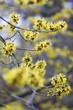 Witch hazel flowers on a branch
