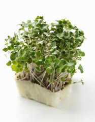 Radish sprouts and daikon cress
