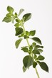 A sprig of oregano