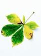 A chestnut leaf with autumn tints