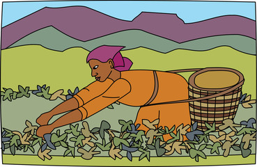 Young black woman farm worker harvesting