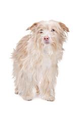 mixed breed podengo dog