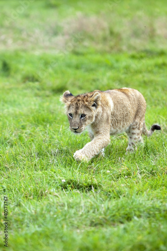 Lion Cub running across the grass