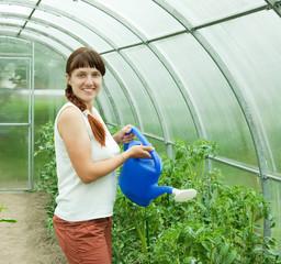 gardener watering   tomatoes
