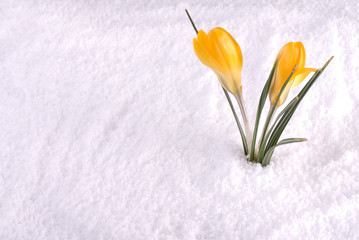 Crocus in Snow Yellow