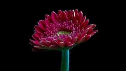Gerbera daisy flower opening timelapse (HD)