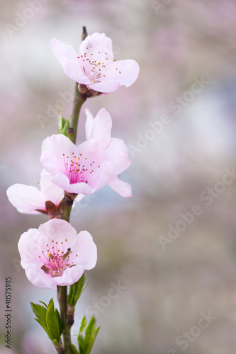 Fresh, spring tree with pink blossoms