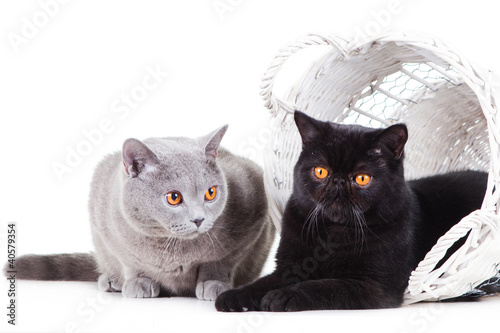 British blue and Black Persian cats playing on isolated white