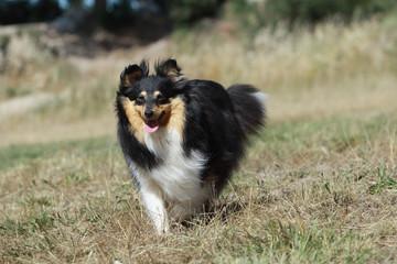 course joyeuse et gaie du chien de berger