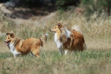 deux bergers des shetland dans les champs