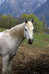ritratto di cavallo bianco