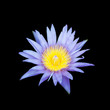 The blooming blue lotus on black background