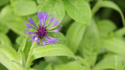Strange purple flower, slightly swaying in the wind.