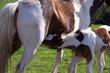 Filly foal suckling