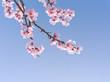 Kirschblüten als Hintergrund