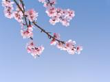 Kirschblüten als Hintergrund - Fine Art prints