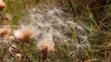 Thistles swings on wind