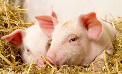 Pigs in a barn II