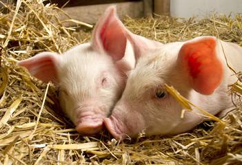 Pigs in a barn III