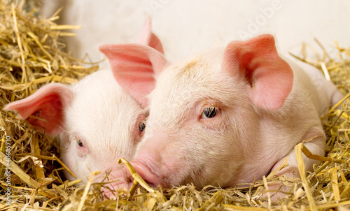 Pigs in a barn II