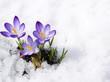 Leinwanddruck Bild - crocuses in snow