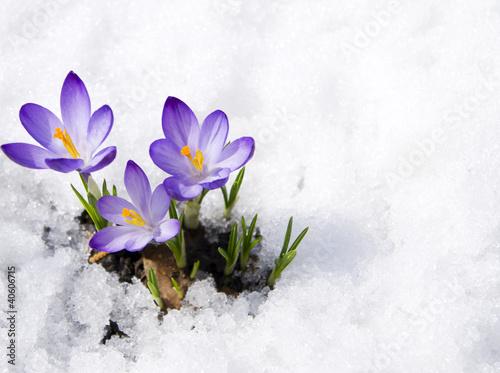 Leinwanddruck Bild crocuses in snow