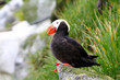 Tufted puffins (Lunda cirrhata) . Commander Islands
