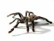 Una araña tarántula en fondo blanco. - 40609384