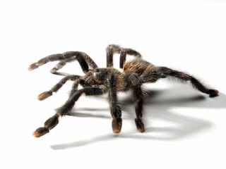 Una araña tarántula en fondo blanco.