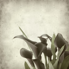 textured old paper background with darl purple calla lilies