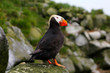 The Tufted Puffin (Lunda cirrhata) in breeding plumage.