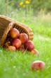 Apple in garden