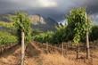 Green vineyard againsct stormy sky