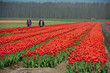 Cultivation of flower bulbs in spring