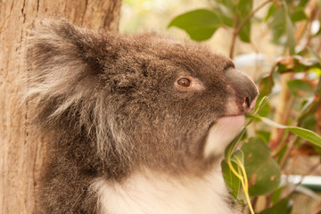 Head of a truculent Koala, chewing