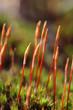 Sporophytes of Polytrichum juniperinum moss