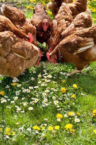 Foto op Canvas Kip poultry in field