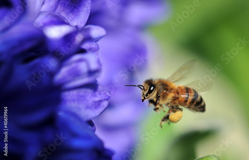 Foto op Aluminium Bee bee in flight