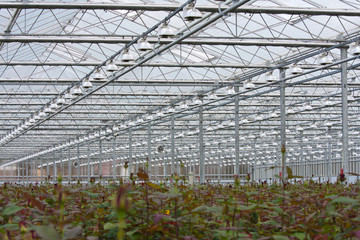 Flower cultivation with roses in a greenhouse