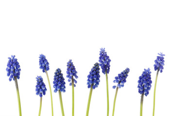 A border of blue grape hyacinths